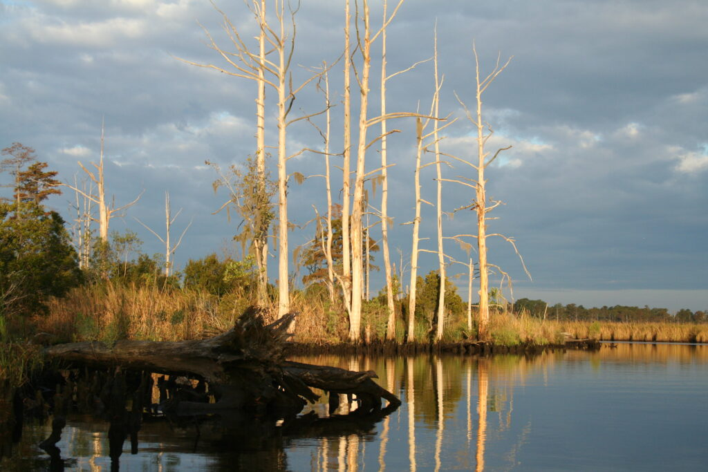 Ghost forest on the shore of Sidney Creek, NC.