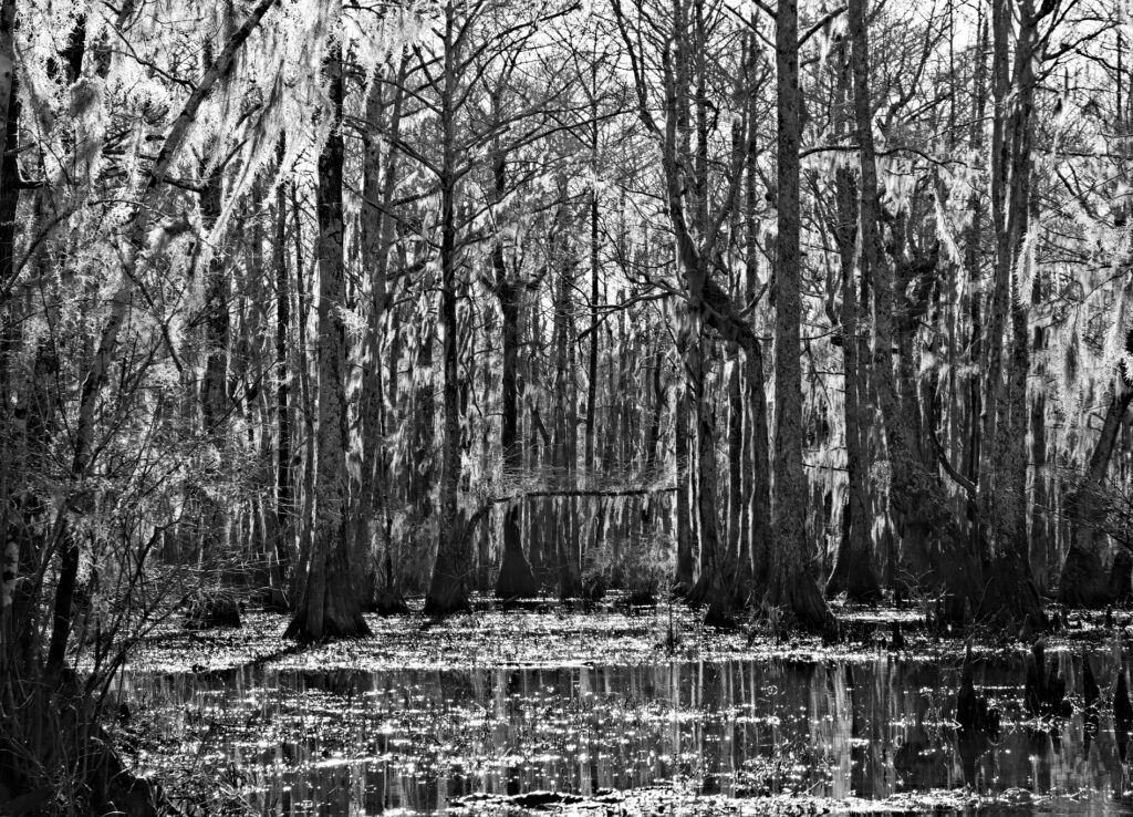 Swamp forest, Merchants Millpond, in black and white.